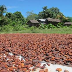 Fèves de Cacao -...