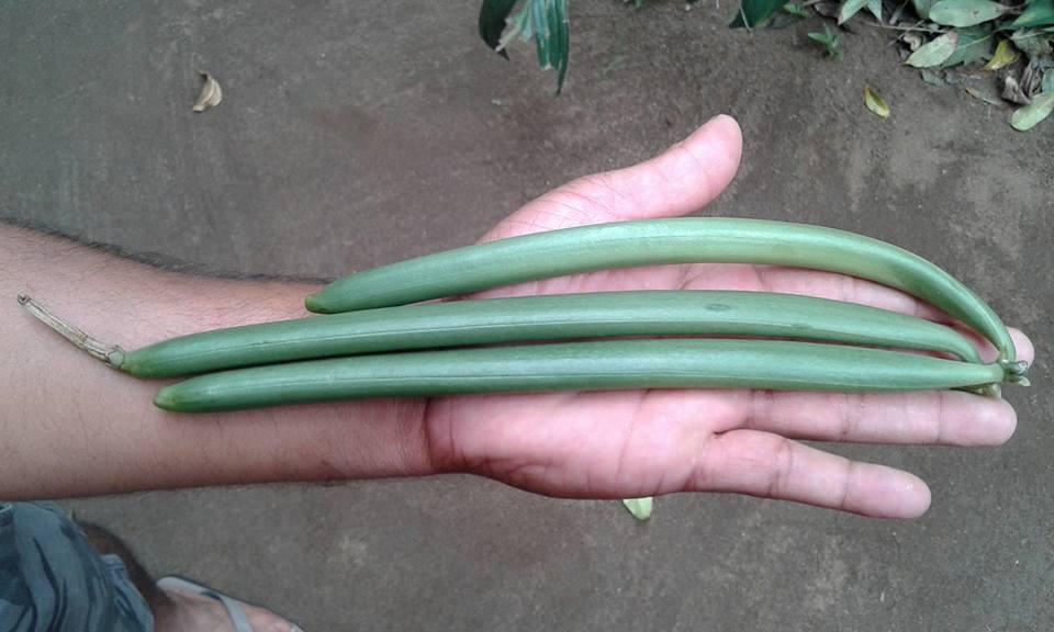 Récolte de Vanille verte