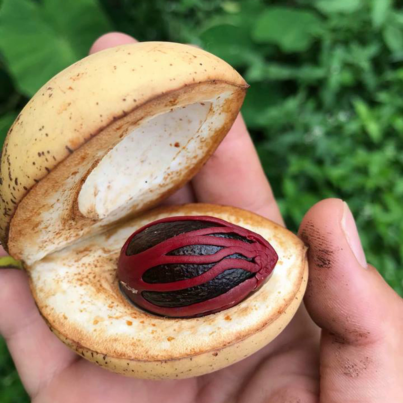 muscade-poudre