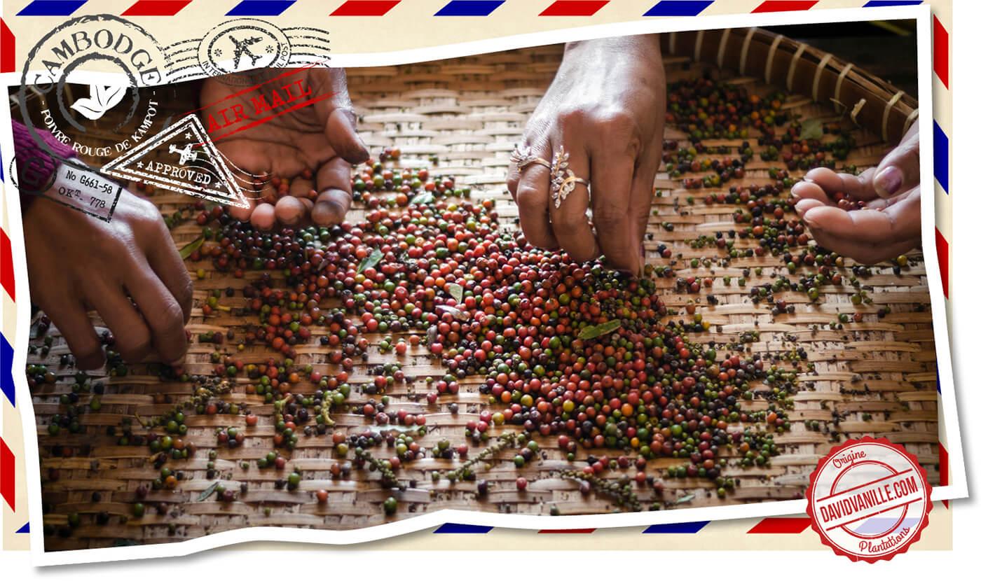 poivre-rouge-kampot-cambodge