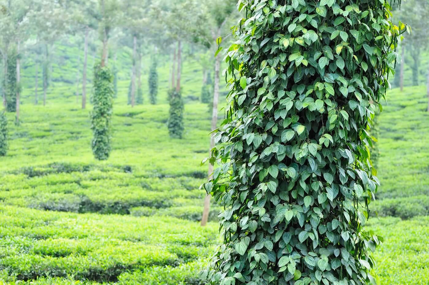 plantation-poivre-tellichery-inde