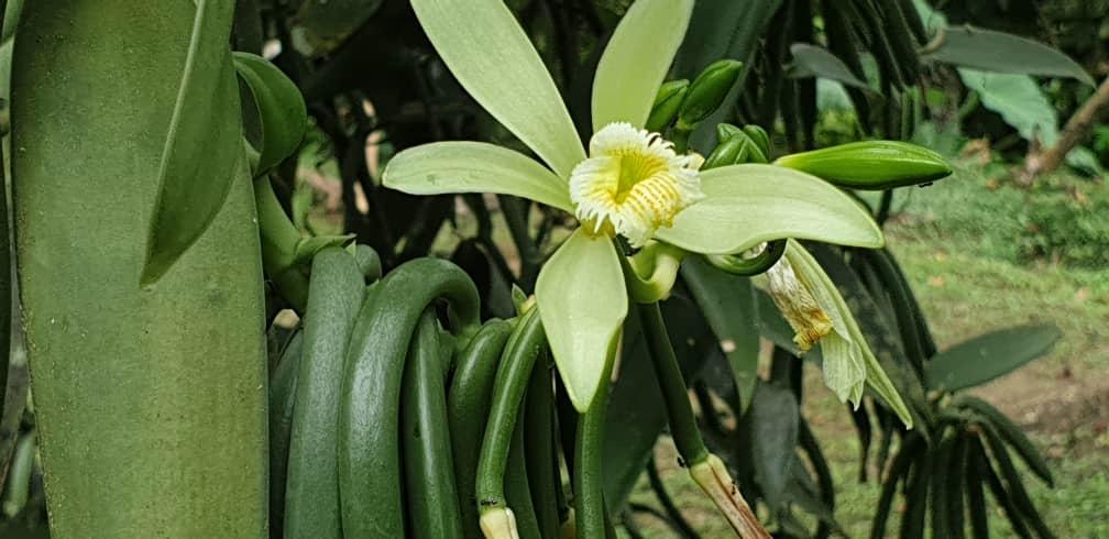 fleur-de-vanille-et-vanille-verte